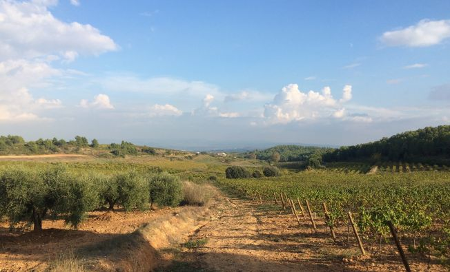 Active vineyards and olive groves in the Penedès (Catalonia, Spain).