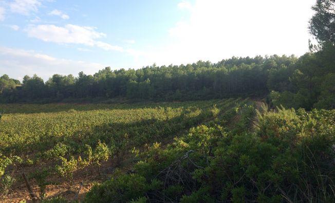 Active vineyard adjacent to abandoned vineyards undergoing forest regeneration (Catalonia, Spain).